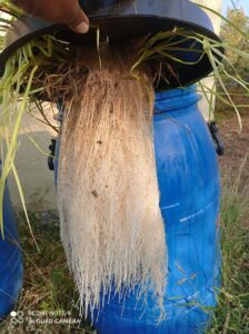 Hydroponic vetiver cultivation